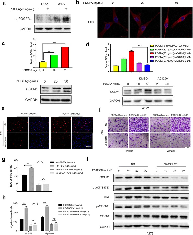 GOLM1 may mediate PDGFA/PDGFRα signaling in A172 cells in vitro . a Western blot analysis of p-PDGFRα in lysates prepared from PDGFA treated (20 ng/mL) and untreated U251 and A172 cells. PBS was used as the vehicle control. b IF staining of GOLM1 (red) in A172 cells treated with 0 ng/mL, 20 ng/mL and 50 ng/mL PDGFA for 24 h. Nuclei were labeled with DAPI (blue). Scale bar = 20 μm. c qRT-PCR (upper) and Western blot analysis (lower) of GOLM1 in lysates prepared from A172 cells treated with 0, 20, and 50 ng/mL PDGFA for 48 h. d qRT-PCR (upper) and Western blot analysis (lower) of GOLM1 in untreated cells or cells treated with increasing amounts of PDGFA in the presence of DMSO (vehicle control) or an inhibitor of PDGFRα AG1296 (5 μM) for 48 h. A172-NC and -sh-GOLM1 cells were treated with PBS (0 ng/mL PDGFA) as negative control or PDGFA (20 ng/mL) for 48 h. e EdU assays to evaluate cell proliferation under indicated treatment. Scale bar = 100 μm. f Representative images of Transwell migration and invasion assays performed in cells with indicated treatment. g Graphic representation of ratios of EdU positive cells under different treatments. Data are presented as the mean ± SEM. h Quantification of invaded and migrated cells in Transwell assays after incubation for 24 h. Data is presented as the mean ± SEM. Scale bar = 50 μm. i Western blot analysis of p-AKT (S473), AKT, p-ERK1/2 and ERK in A172-NC and -sh-GOLM1 cells after treatment with PDGFA (20 μg/mL) for 0, 10, 20, and 30 min. (NS, not significant; * P