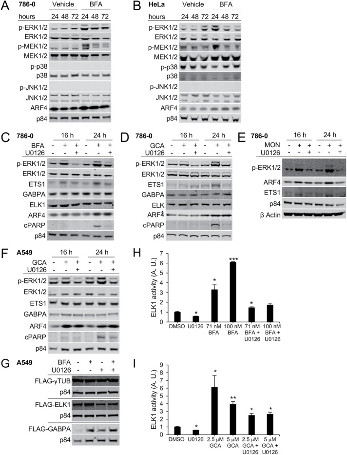 BFA treatment activates MEK1/2 and ERK1/2, but not p38 or JNK1/2 signaling. (A) 786-0 or (B) HeLa cells were treated with 40 nM BFA for the indicated duration. The indicated proteins were detected by Western blot. (C–E) 786-0 cells were treated for the indicated duration with 40 nM BFA (C), 1.75 µM GCA (D), or 500 nM MON in the presence or absence of the MEK inhibitor U0126, which was used at 10 μM. The specified proteins were detected by immunoblotting; cPARP: cleaved PARP. (A–E) Representative blots of one example out of three independent experiments are shown with the exception of E, where n = 1. (F) A549 cells were treated with 1.75 µM GCA in the presence or absence of the MEK inhibitor U0126 used at 10 μM for the indicated duration. (G) A549 cells stably expressing the indicated constructs were treated with 70 nM BFA in the presence or absence of 10 μM U0126 for 24 h. (H, I) ELK1 activity in response to 20-h treatment with the indicated concentrations of BFA (H) or GCA (I) in the absence or presence of 10 µM U0126 was measured using a dual-luciferase reporter assay. A representative example of two independent experiments (single compound treatment) is shown; the combinatorial treatment was done once. Three wells per condition were analyzed per experiment. A.U. indicates arbitrary units. Asterisks (*) represent significant differences between DMSO and treatment conditions: *, p