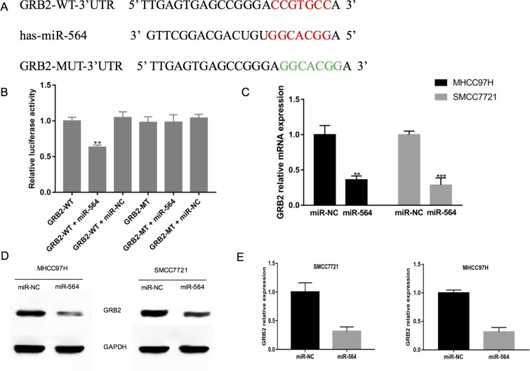 GRB2 is a direct target of miR-564 in hepatocellular cells ( A ) The predicted miR-564 binding site in the 3′-UTR of GRB2 and the mutated 3′-UTR of GRB2, which was generated using the complementary sequence in the seed region of miR-564. ( B ) miR-564 or NC and a luciferase vector encoding the WT or MUT GRB2 3′-UTR were transfected into 293T cells, and the relative luciferase activity was measured. ( C ) GRB2 mRNA expression in the MHCC97H and SMCC7721 cells of the miR-564 and miR-NC groups as detected by qRT-PCR. ( D – E ) GRB2 protein expression in the MHCC97H and SMCC7721 cells of the miR-564 and miR-NC groups as detected by western blotting. All assays were repeated three times, and the mean values were used for comparisons.