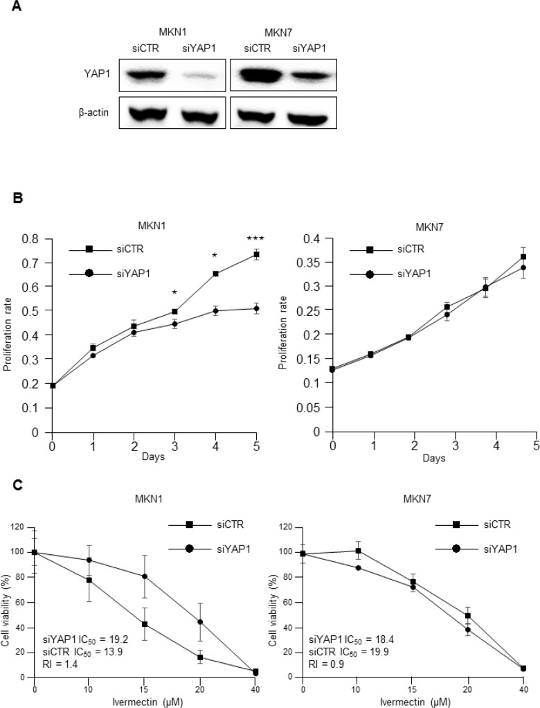 The antiproliferative effects of ivermectin were dependent on YAP1 expression ( A ) Immunoblotting for total protein expression of YAP1 in YAP1 siRNA-transfected MKN1 and MKN7 cells and control siRNA-transfected cells. ( B ) MTT proliferation assays. The proliferation rates of YAP1 siRNA-transfected MKN1 and MKN7 cells were compared with that of control siRNA-transfected cells. * P