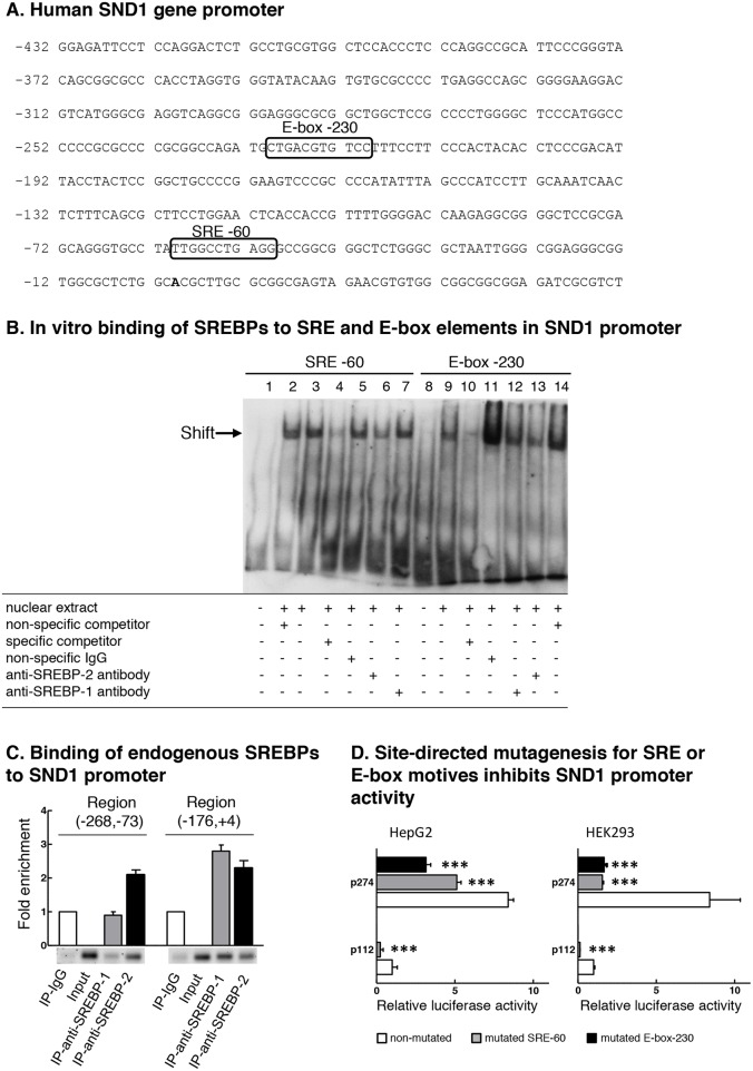 SND1 promoter contains functional binding sites for SREBPs (A) Partial nucleotide sequence of SND1 gene proximal promoter [GenBank: EF690304]. The transcription start site (+1) is shown in bold. Boxes indicate predicted binding motives for SREBP transcription factors SRE -60 and E-box -230. (B) Electrophoretic mobility shift assay for the predicted SRE and E-box sequences using HepG2 nuclear extracts. Competition assays were performed with 100x excess of specific or non-specific unlabelled probe. Lanes 1 and 8 free probe, lanes 3 and 9 HepG2 nuclear extracts, lanes 2 and 14 non-specific competitor, lanes 4 and 10 SRE -60 and E-box -230 specific competitor, respectively, lanes 5 and 11 non-specific antibodies, lanes 6 and 13 anti-SREBP-2 IgG, and lanes 7 and 12 anti-SREBP-1 IgG. (C) Binding of endogenous SREBP-1 and SREBP-2 to SND1 gene promoter. Chromatin from HepG2 cells was immunoprecipitated with anti-SREBP-2, anti-SREBP-1, or non-immune IgG as negative control. DNA from input or immunoprecipitates (IP) was subjected to PCR to amplify SND1 promoter (-268, -73) and (-176, +4) regions containing the predicted SRE or E-box elements. Results in B and C are representative of three experiments with similar results. (D) Site-directed mutagenesis for SRE -60 or E-box -230 motif was performed in HepG2 and HEK293 cells as described in Material and methods and SND1 promoter activity measured and expressed relative to non-mutated p112 luciferase activity. Results are reported as the mean ± SD of 3 independent experiments, each performed in quadruplicate, and were analyzed by the two-tailed Student's t -test. Significance is denoted: *** p≤0.001.