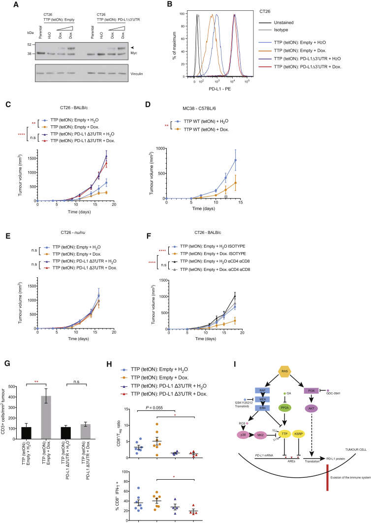 Restoration of Tumor Cell TTP Expression Enhances Anti-tumor Immunity (A) Western blotting analysis of CT26 Myc-TTP tet-ON cells expressing either empty vector or mouse Cd274 cDNA lacking the 3′ UTR (PD-L1 Δ3′ UTR), 24 hr after treatment (Dox., 0.1 μg/mL or 1 μg/mL). Arrow indicates Myc-TTP. Data are representative of two independent experiments. (B) Representative flow cytometry histograms of PD-L1 surface protein expression in CT26 stable cells lines in (A), 72 hr after treatment (Dox., 1 μg/mL). Data are representative of three independent experiments. (C) Tumor growth curves for CT26-derived cell lines subcutaneously transplanted into BALB/c mice (n = 8 per group). (D) Tumor growth curves for MC38-derived cell lines subcutaneously transplanted into C57BL/6 mice (n = 6 per group). X denotes the loss of a doxycycline-treated mouse. (E) Tumor growth curves for CT26-derived cell lines subcutaneously transplanted into nu/nu mice (n = 6 per group). (F) Tumor growth curves for CT26-derived cell lines subcutaneously transplanted into BALB/c mice (n = 4–5 per group). For (C)–(F), data represent the mean ± SEM from individual experiments. ∗∗ p