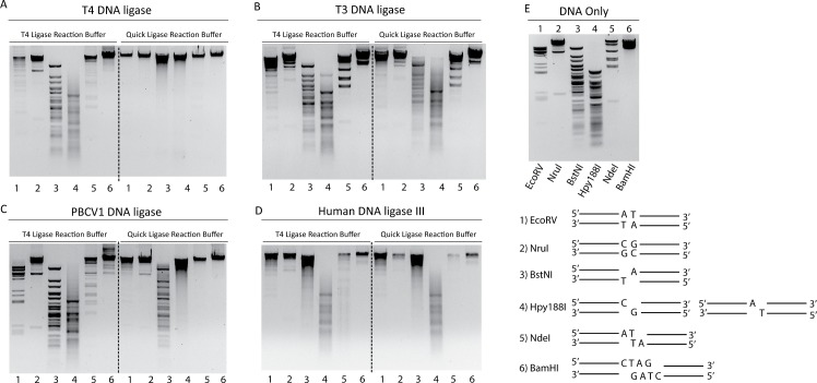 Wild type DNA ligase λ DNA digest ligation assay. Agarose gel electrophoresis of λ DNA cut by EcoRV (A/T Blunt, 1 ), NruI (G/C Blunt, 2 ), BstNI (5′ SBO, 3 ), Hpy188I (3′SBO, 4 ), NdeI (2 BO, 5 ) and BamHI (4 BO, 6 ), generating DNA fragments with ligatable ends. 0.5 ng of the cut DNA was ligated in the presence of T4 ligase reaction buffer (50 mM Tris-HCl pH 7.5 @ 25°C, 1 mM ATP and 10 mM MgCl 2 ) or NEBNext ® Quick Ligation reaction buffer (66 mM Tris pH 7.6 @ 25°C, 10 mM MgCl2, 1 mM DTT, 1 mM ATP, 6% polyethylene glycol (PEG 6000)) and 7 μM of the indicated DNA ligase for 1 hour at 25°C. Ligation assays performed with T4 DNA ligase (A), T3 DNA ligase (B), PBCV1 DNA ligase (C) and, hLig3 (D), respectively. E) Gel of restriction enzyme digested λ DNA samples as well as a schematic depiction of each substrate. The DNA fragments were visualized using ethidium bromide stain.