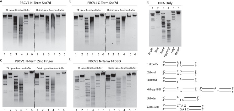 Effect of DBDs on blunt/cohesive end λ DNA Re-ligation. Agarose gel electrophoresis of λ DNA cut by EcoRV (A/T Blunt, 1), NruI (G/C Blunt, 2), BstNI (5′ SBO, 3), Hpy188I (3′SBO, 4), NdeI (2 BO, 5) and BamHI (4 BO, 6), generating DNA fragments with ligatable ends. 0.5 ng of the cut DNA was ligated in T4 ligase reaction buffer (50 mM Tris-HCl pH 7.5 @ 25°C, 1 mM ATP and 10 mM MgCl 2 ) or NEBNext ® Quick Ligation reaction buffer (66 mM Tris pH 7.6 @ 25°C, 10 mM MgCl 2 , 1 mM DTT, 1 mM ATP, 6% Polyethylene glycol (PEG 6000)) and 7 μM of the indicated DNA ligase for 1 hour at 25°C. Ligation assays performed with PBCV1-Nterm-Sso7d (A), PBCV1-Cterm-Sso7d terminus (B), PBCV1-Nterm-ZnF (C), PBCV1-Nterm-T4NTD (D). (E) Gel of restriction enzyme digested λ DNA samples as well as a schematic depiction of each substrate. The DNA fragments were visualized using ethidium bromide stain.