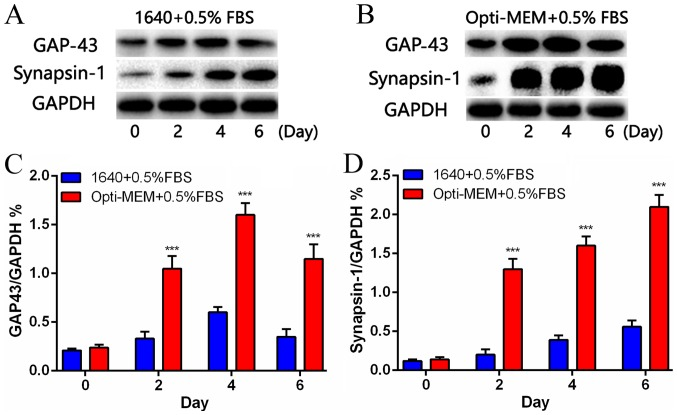 Protein expression was increased during NGF-induced differentiation of PC12 cells. (A) The synapsin-1 and <t>GAP-43</t> levels in the 1640+0.5% FBS group. (B) The synapsin-1 and GAP-43 protein levels in the Opti-MEM+0.5% FBS group. (C and D) Quantification of the GAP-43 and synapsin-1 protein levels in the two groups on days 2, 4 and 6. Data are presented as mean ± standard error of the mean (n=4). *** P