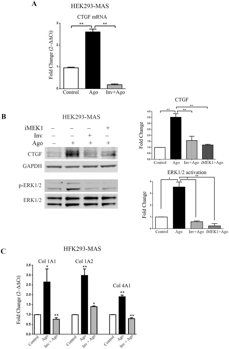 Agonist activated MAS receptor induces CTGF through ERK1/2 and regulates collagen expression in HEK293 cells stably expressing MAS. (A) Real-time PCR analysis shows significant upregulation of CTGF expression in response to MAS receptor agonist (AR234960; 10μM); while MAS inverse-agonist (AR244555; 10μM) along with agonist suppresses the expression of CTGF below the basal level. (B) Western-blot showing significant upregulation of CTGF in MAS agonist (AR234960) activated samples whereas CTGF expression decreases in presence of inverse-agonist (AR244555). MAS activated by AR234960 induces phosphorylation of ERK1/2, MAS inhibition by the inverse-agonist (AR244555) reduces ERK1/2 activation. MAS expressing HEK293 cells also show significant down-regulation of CTGF in presence of MEK1 inhibitor (PD98059). CTGF and p-ERK1/2 expression were normalized by GAPDH and ERK1/2 respectively. The western blot image shown is a representative of all the experiments done under similar experimental conditions and data from multiple experiments quantitated and cumulative data were presented as bar graph, (* p