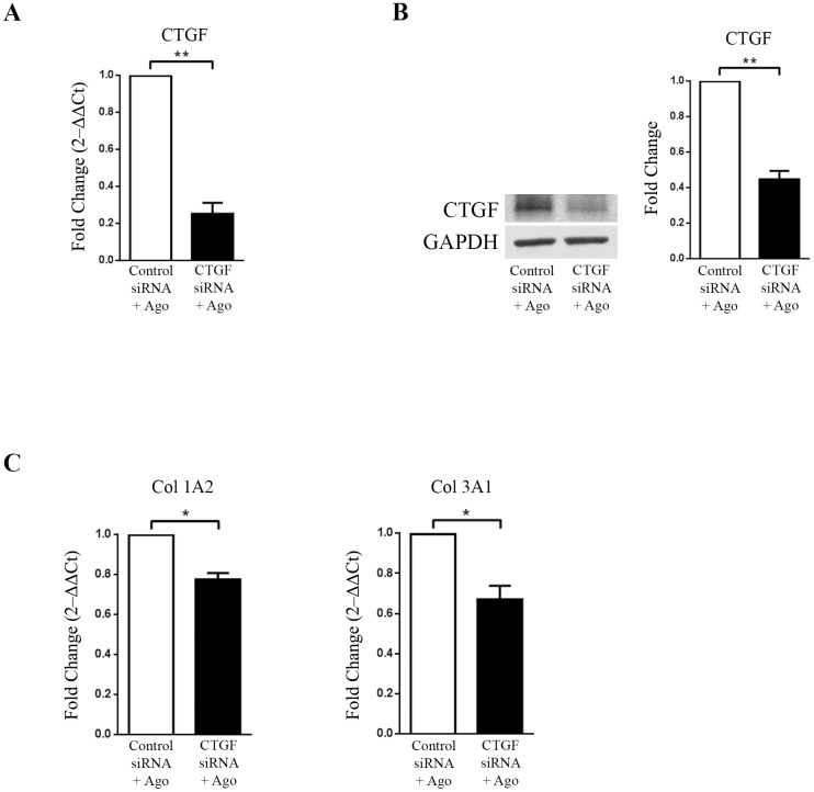 CTGF regulates agonist (AR234960) induced collagen expression in HCF cells. HCF cells were transiently transfected with control siRNA and CTGF siRNA followed by treatment with MAS agonist (AR234960). (A) Real-time PCR analysis confirms CTGF down-regulation by CTGF siRNA as compared to control siRNA transfected and followed by MAS agonist treatment. GAPDH was used as loading control. CTGF siRNA did not affect MAS expression in HCF ( S3 Fig ). (B) . Western-blot confirmation of CTGF protein levels. The western blot image shown is a representative of all the experiments done under similar experimental condition and data from multiple experiments quantitated and cumulative data were presented as bar graphs (left) (** p