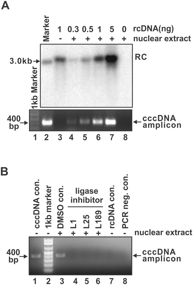 Ligase inhibitor treatment blocked cccDNA formation in nuclear extract. (A) Demonstration of the in vitro cccDNA formation assay. The indicated amount of purified DHBV rcDNA were incubated with HepG2 nuclear extract as described in Materials and Methods. After the in vitro cccDNA formation reaction, total DNA were extracted and subjected to DHBV Southern blot analysis (top panel) and cccDNA-specific PCR assay (bottom panel). The EcoRI-linearized DHBV unit-length DNA was used as marker in Southern blot and as PCR positive template in cccDNA PCR assay (lane 2). 1 ng of rcDNA alone (lane 3) and nuclear extract alone (lane 8) served as PCR negative controls. (B) The in vitro DHBV cccDNA formation reaction was treated with DNA ligases inhibitor L1 (20 μM), L25 (20 μM), or L189 (50 μM), or DMSO solvent, and cccDNA was detected by PCR (lanes 3–6). DHBV cccDNA purified from Dstet5 cells was used as PCR positive control (lane 1). 1 ng of rcDNA without incubation with nuclear extract (lane 7) or without PCR reaction (lane 8) served as negative controls.