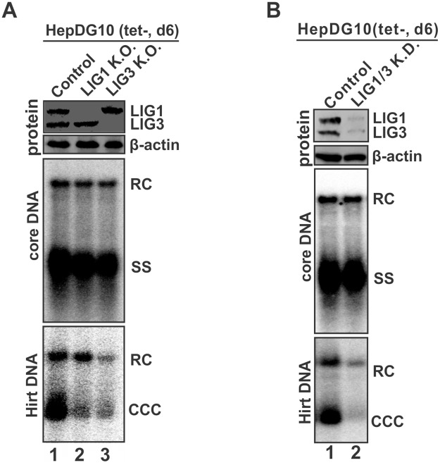 Knock-out of LIG1 and LIG3 reduced DHBV cccDNA in HepDG10 cells. HepDG10 control and ligase single knock-out (K.O.) cells (A) and double knock-down cells (B) were cultured in tet-free medium for 6 days. The levels of LIG1 and LIG3 in each cell lines were determined by Western blot with β-actin serving as loading control. DHBV core DNA and cccDNA were analyzed by Southern blot. The loading amount of Hirt DNA was normalized based on the relative levels of RC DNA (% of control) on core DNA Southern blot. The data presented here are representative of two independent experiments.