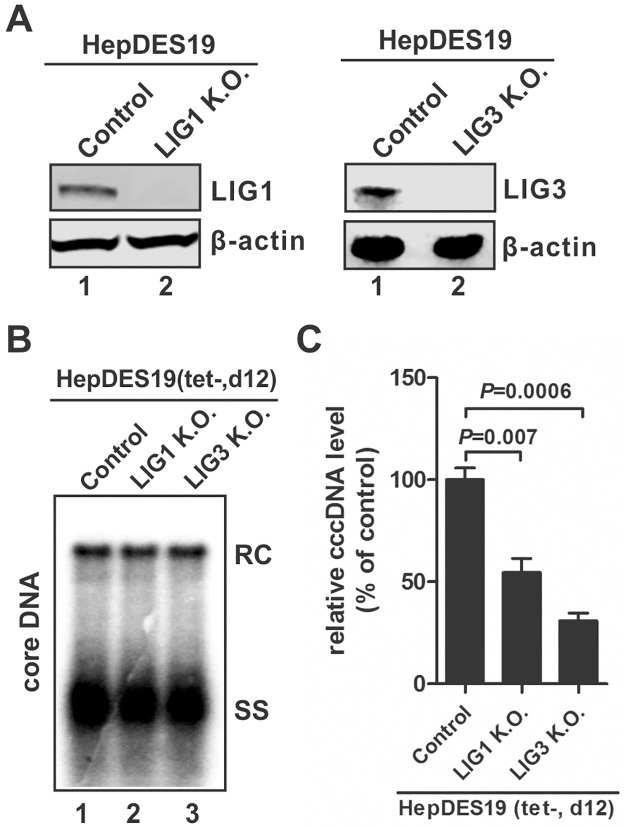 Knock-out of <t>LIG1</t> or LIG3 reduced HBV cccDNA production in HBV stable cell line. (A) Confirmation of LIG1 and LIG3 knock-out in HepDES19-based LIG1 K.O. cells and LIG3 K.O. cells by Western blot, respectively. (B) HepDES19-based control K.O. cells, LIG1 K.O. cells, and LIG3 K.O. cells were cultured in tet-free medium for 12 days, then the intracellular HBV core <t>DNA</t> was analyzed by Southern blot. (C) HBV Hirt DNA samples extracted from the above cell cultures were heat denatured and digested by PSAD to remove rcDNA, then cccDNA was quantified by qPCR, normalized by mitochondrial DNA and plotted as relative levels (% of control) (mean±SD, n = 3).