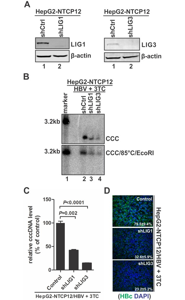 Knock-down of LIG1 or LIG3 reduced HBV cccDNA production in HBV in vitro infection system. (A) The knock-down levels of LIG1 and LIG3 in lentiviral shRNA transduced HepG2-NTCP12 cells were assessed by Western blot. (B) The indicated control and LIG1/3 knock-down HepG2-NTCP12 cells were infected by HBV in the presence of 10 μM of 3TC for 8 days. The extracted intracellular HBV cccDNA were directly analyzed by Southern blot (top panel), or heat denatured at 85°C for 5 min, followed by EcoRI linearization and Southern blot analysis (bottom panel). (C) In addition, cccDNA was quantitated by qPCR, normalized by mitochondrial DNA and plotted as relative levels (% of control) (mean±SD, n = 3). (D) The intracellular core protein (HBc) expression was detected by immunofluorescence microscopy. Cell nuclei were counterstained with DAPI. Each image is a representative of five different microscopic fields, the percentage of HBc-positive cells was indicated (Mean ± SD).