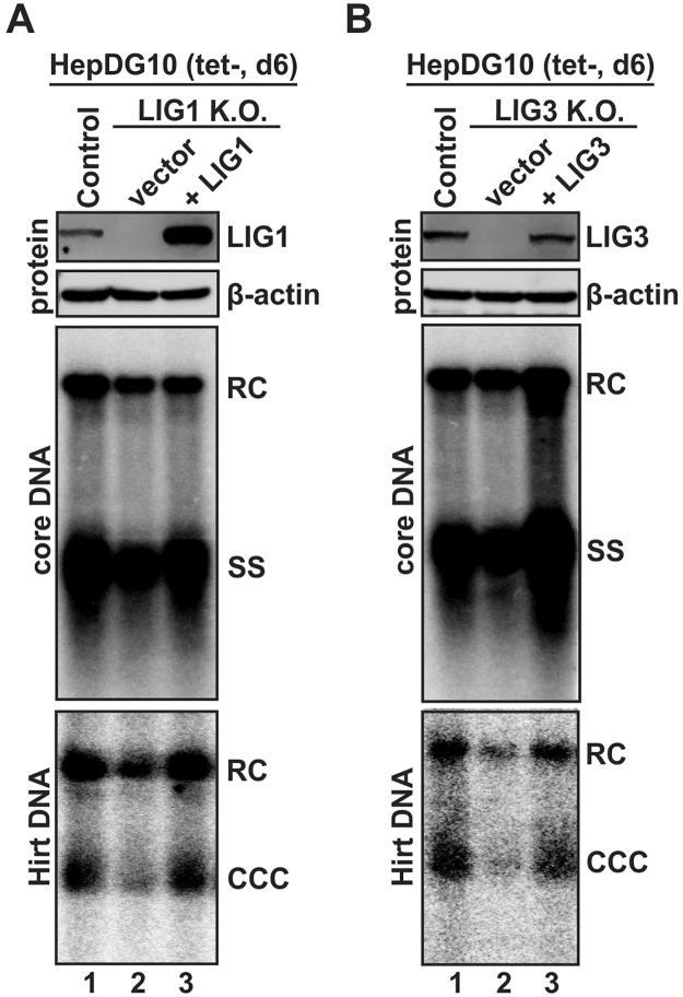 Ectopic expression of LIG1 and LIG3 restored DHBV cccDNA formation in ligase knock-out cells. HepDG10-based control knock-out cells and LIG1 knock-out cells (A) or LIG3 knock-out cells (B) were transfected with control vector or plasmid expressing sgRNA-resistant LIG1 (A) or LIG3 (B), and cultured in tet-free medium to induce DHBV replication. Cells were harvested at day 6 post induction, LIG1 and LIG3 expression levels were detected by Western blot, viral core DNA and cccDNA were analyzed by Southern blot. The loading amount of Hirt DNA was normalized by the relative levels of RC DNA (% of control) on core DNA Southern blot. The presented results are representative of two experimental trials.