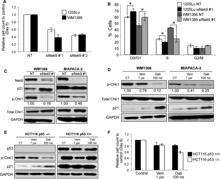 Effect of NEK9 silencing on growth of RAS ‐mutant cancer cell lines. (A) siRNA knockdown of NEK9 reduces the growth of BRAF ‐ and NRAS ‐mutant melanoma cell lines. Cells were transfected with siRNA #1 or #2 overnight before quantification of cell numbers by trypan blue. (B) NEK9 silencing (siRNA #1) leads to G1‐phase cell cycle arrest in 1205Lu and WM1366 cells. (C) Knockdown of NEK9 increases p21 expression and inhibits phosphorylation of CHK1. Cells were transfected with siRNA overnight prior to western blotting for NEK9, p21, pCHK1, CHK1, and GAPDH. Numbers indicate expression relative to control. (D) Dabrafenib, but not vemurafenib, inhibits pCHK1 and increases p21 expression in WM1366 and MIA PaCa‐2 cells. Cells were treated with dabrafenib (100 n m ), vemurafenib (1 μ m ), or vehicle for 24 h (MIA PaCa‐2) or 48 h (WM1366) and subjected to western blot for p‐CHK1, CHK1, p21, and GAPDH. Numbers indicate expression relative to control. (E) Left panel: Dabrafenib selectively inhibits pCHK1 and increases p21 expression in p53−/− cells. HCT116 p53−/− and p53+/+ cells were treated with dabrafenib (100 n m ), vemurafenib (1 μ m ), or vehicle for 48 h and subjected to western blot for p‐CHK1, CHK1, p21, and GAPDH. Right panel: effect of vemurafenib (1 μ m ) and dabrafenib (100 n m ) on proliferation of HCT116 p53−/− and p53+/+ cells. * indicates significant difference from controls ( P