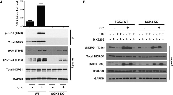 SGK3 is activated by IGF1. ( A ) Wild-type (WT) and SGK3 knock-out (KO) HEK293 cells were serum-starved for 16 h prior to stimulation with or without 50 ng/ml IGF1 for 10 min. Subsequently, cells were lysed and endogenous SGK3 was immunoprecipitated with anti-SGK3 antibody. Immunoprecipitates were assayed for SGK3 kinase activity by measuring phosphorylation of the Crosstide substrate peptide in the presence of 0.1 mM 32 PγATP in a 30 min reaction. The lysates and immunoprecipitates were subjected to immunoblot analysis with the indicated antibodies following the kinase assay. Kinase reactions are presented as means ± SEM for triplicate reactions. Similar results were obtained in at least two independent experiments. ( B ) As in ( A ), except cells were treated with or without 3 µM 14H and/or 1 µM MK2206 for 1 h before stimulation with or without 50 ng/ml IGF1 for 10 min. Cell lysates were subjected to immunoblot analysis with the indicated antibodies.