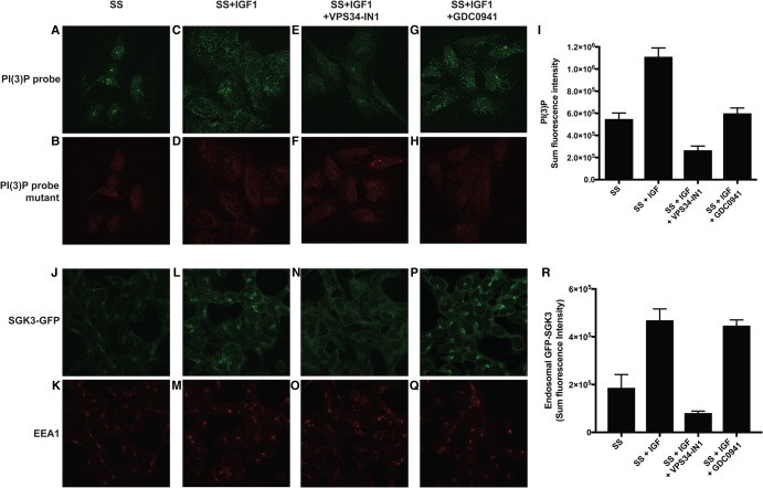 IGF1 stimulation enhances endosomal PtdIns(3)P and recruitment of GFP-SGK3 to the endosomes. HEK293 cells were serum-starved overnight then treated as indicated with or without VPS34-IN1 (1 µM) and/or GDC-0941 (0.5 µM) for 60 min prior to stimulation with 50 ng/ml IGF1 for 15 min. Cells were subsequently fixed with 4% (v/v) paraformaldehyde and stained with recombinant wild-type (WT) PtdIns(3)P-binding probe FYVE domain of HRS[147–223] conjugated to Alexa Fluor 488 conjugate (green channel) ( A , C , E and G ) or with the mutant non-PtdIns(3)P-binding FYVE domain of HRS[147–223, H176A/H177A] (red channel, Alexa 594). ( B , D , F and H ). ( I ) The histogram displays a representative quantitation of the sum fluorescence intensity of PX domain staining on endosomal structures ± SEM (increase in PtdIns(3)P levels upon IGF1 stimulation ranged from 30 to 50% compared with serum-starved cells). ( J–Q ) GFP-SGK3 knock-in HEK293 cells were serum-starved overnight and treated as above prior to IGF1 stimulation. Cells were fixed with 4% (v/v) paraformaldehyde and GFP distribution was visualised using chicken anti-GFP primary and anti-chicken Alexa Fluor 488 to enhance the GFP signal (upper panel). SGK3 co-localisation with the early endosomal marker EEA1 was visualised using rabbit anti-EEA1 primary and anti-rabbit Alexa Fluor 594 secondary antibody (lower panel). ( R ) The histogram displays a representative quantitation of the sum of intensity of fluorescent signal from GFP-SGK3, co-localising with the EEA1 marker at the endosomes ± SEM following the various treatments (increase in GFP-SGK3 levels at the endosomes ranged from 30 to 60% upon the addition of IGF1 compared with serum-starved conditions).