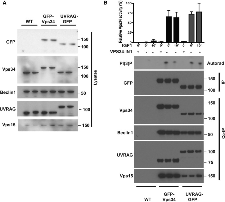 IGF1 does not stimulate hVPS34 activity. Wild-type (WT), GFP-Vps34 or GFP-UV-RAG knock-in HEK293 cells were cultured in serum-lysed and subjected to immunoblot analysis with the indicated antibodies. ( B ) WT, GFP-Vps34 or GFP-UV-RAG knock-in HEK293 cells were serum-starved overnight prior to treatment with or without 50 ng/ml IGF1 for 15 min. Cells were subsequently lysed using a 1% (v/v) NP-40 lysis buffer and immunoprecipitations undertaken using GFP-TRAP antibodies. The immunoprecipitates were subjected to a kinase assay in the presence of PtdIns (5 µg) and 0.1 mM 32 PγATP for a 30 min reaction measure in the absence or presence of VPS43-IN1 (1 µM) as indicated. Reactions were chromatographed on a Silica 60 TLC plate and 32 P-radioactivity associated with the spot, corresponding to PtdIns(3)P, was visualised by autoradiography and quantified by Cerenkov scintillation. Immunoprecipitates were also subjected to immunoblot analysis with the indicated antibodies. In the top panel, we show the quantitation of the VPS34 PI 3-kinase activity. The data are presented as means ± SEM for triplicate reactions. Similar results were obtained in at least two independent experiments for all data shown.