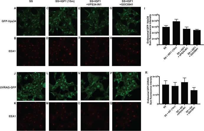 IGF1 does not affect localisation of hVPS34 and UV-RAG. GFP-Vps34 ( A – I ) or GFP-UV-RAG ( J – R ) knock-in HEK293 cells were serum-starved overnight and treated as indicated with or without VPS34-IN1 (1 µM) and/or GDC-0941 (0.5 µM) for 60 min prior to stimulation with IGF1 for 15 min. Cells were subsequently fixed with 4% (v/v) paraformaldehyde and GFP distribution was visualised using chicken anti-GFP primary and anti-chicken Alexa Fluor 488 to enhance the GFP signal. Co-localisation of hVPS34 or UV-RAG with an early endosomal EEA1 marker was visualised using rabbit anti-EEA1 primary and anti-rabbit Alexa Fluor 594 secondary antibody. The histograms display quantitation of the sum of intensity of fluorescent signal from GFP-Vps34 ( I ) or GFP-UV-RAG ( R ), co-localising with the EEA1 marker ± SEM following the various treatments.