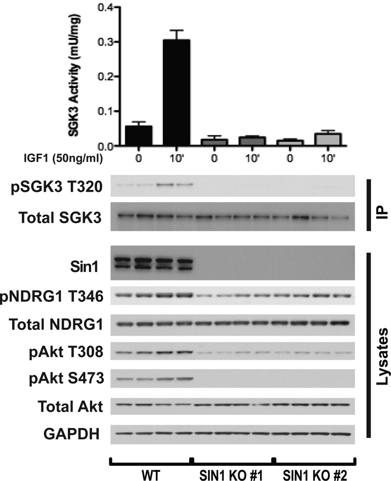Loss of mTORC2 activity ablates IGF1-induced SGK3 activity. Wild-type and SIN1 knock-out HEK293 cells were serum-starved overnight prior to 50 ng/ml IGF1 stimulation for 15 min. Endogenous SGK3 was immunoprecipitated from the lysates and SGK3 kinase activity was assessed by measuring phosphorylation of the Crosstide substrate peptide in the presence of 0.1 mM 32 PγATP in a 30 min reaction. Both immunoprecipitates and lysates were subjected to western blotting with the indicated antibodies.