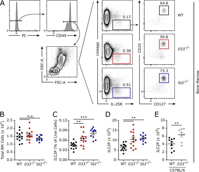 Deficiency in IL-33 signaling leads to an accumulation of ILC2Ps in the bone marrow. Adult naive WT BALB/c, Il33 −/− , and St2 −/− mice were killed, and bone marrow from one tibia and femur was prepared for flow cytometric analysis. (A) Gating strategy and representative gating of WT, Il33 −/− , and St2 −/− ILC2Ps. ILC2Ps were defined as viable CD45 + FSC-A lo SSC-A lo Lin − IL-25R + CD25 + CD127 + cells. (B) The total number of viable bone marrow cells. (C) ILC2P frequency among live bone marrow cells. (D) The total number of ILC2Ps in the bone marrow. (E) The total number of ILC2Ps in the bone marrow of WT C57BL/6 and Il33 −/− mice on a C57BL/6 background. Data are representative of three independent experiments (A) or combined from two (E, n = 8–9) or three (B-D, n = 10–13) independent experiments and displayed as the mean ± SEM. **, P