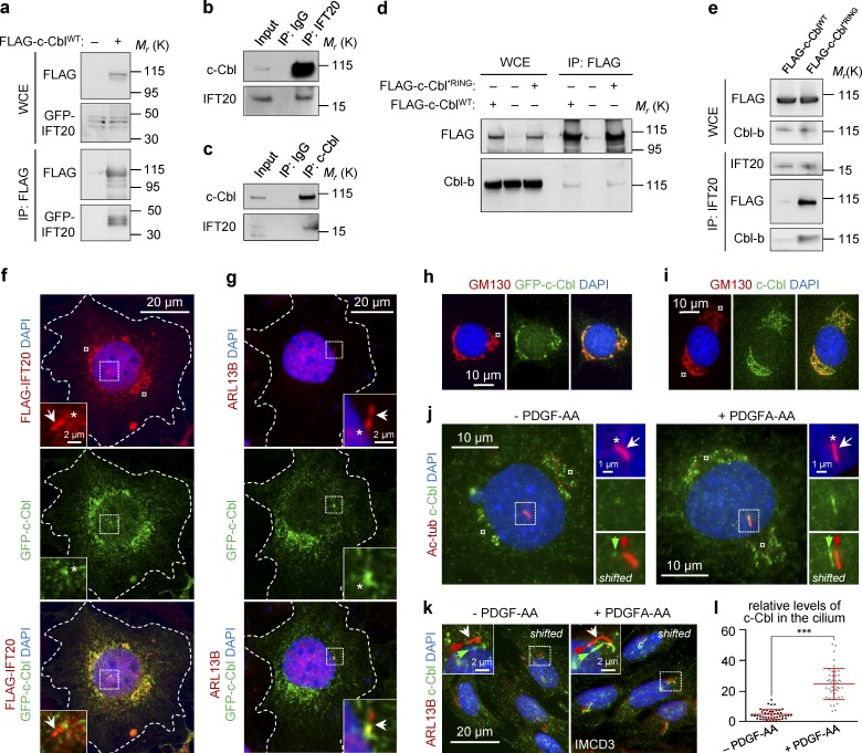IFT20 interacts with <t>Cbl-b</t> and c-Cbl, which is targeted to the cilium in PDGF-AA–stimulated cells. (a) Validation of the IFT20-c-Cbl interaction. HEK293T cells coexpressing GFP-IFT20 with either FLAG–tagged WT c-Cbl (FLAG–c-Cbl WT ) or empty FLAG vector were subjected to FLAG IP, followed by WB analysis. (b and c) Reciprocal IPs of endogenous IFT20 or c-Cbl from HEK293T cells. (d) FLAG IP of HEK293T cell extracts expressing FLAG–c-Cbl WT or FLAG–tagged RING mutant (p.C381A) c-Cbl (FLAG–c-Cbl *RING ). (e) IFT20 IP of HEK293T cell extracts expressing FLAG–c-Cbl WT or FLAG–c-Cbl *RING , followed by WB analysis. (f) IFM of WT NIH3T3 cells coexpressing GFP-tagged c-Cbl and FLAG–tagged IFT20. The dashed line indicates the Golgi complex, the arrow shows the primary cilium, and the asterisks identify the ciliary base. The nucleus was visualized with DAPI. (g) IFM of WT NIH3T3 cells expressing GFP-tagged c-Cbl. The primary cilium was marked with anti–ARL13B (arrow). The dashed line indicates the Golgi complex, and asterisk indicates the ciliary base. The nucleus was visualized with DAPI. The outline of the cells in panels f and g is highlighted with a dashed line. (h and i) IFM of WT NIH3T3 cells expressing either GFP-tagged c-Cbl (h) or stained with <t>anti–c-Cbl</t> (i). The Golgi complex (dashed line) was labeled with anti–GM130, and the nucleus was visualized with DAPI. (j) Localization of c-Cbl to the primary cilium in WT NIH3T3 cells, labeled with anti–Ac-tub (arrow), in WT NIH3T3 cells before and after stimulation with PDGF-AA. The asterisk marks the ciliary base. The nucleus was visualized with DAPI. (k) Localization of c-Cbl to the primary cilium in WT NIH3T3 cells and labeled with anti–ARL13B (arrow) in IMCD3 cells before and after stimulation with PDGF-AA. The asterisk marks the ciliary base. The nucleus was visualized with DAPI. (l) Quantification of relative levels of c-Cbl in the primary cilium shown in panel k. Fluorescence was normalized to background 