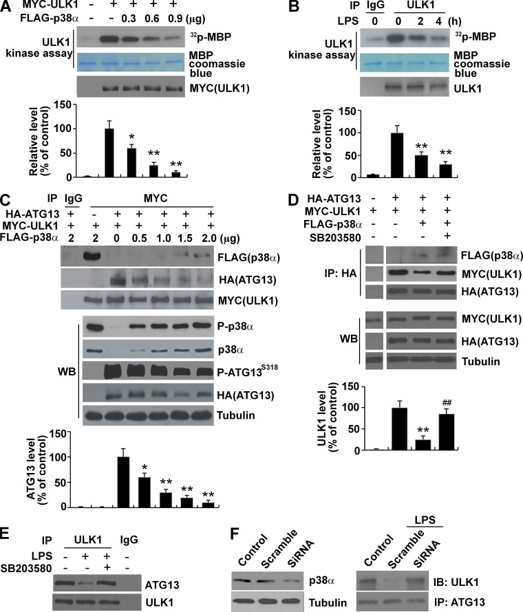 Phosphorylation by p38α MAPK reduces ULK1 kinase activity and disrupts the ULK1–ATG13 complex. (A) Expression of p38α MAPK reduces ULK1 kinase activity. MYC-ULK1 with different amounts of FLAG–p38α MAPK was cotransfected into HEK293 cells for 24 h. The activity of immunoprecipitated MYC-ULK1 was measured by in vitro kinase assay using MBP as the substrate. The bottom graph shows relative change of [ 32 P]-MBP signal. (B) LPS treatment reduces ULK1 kinase activity. BV2 cells were treated with LPS (1 µg/ml) for the indicated time. Endogenous ULK1 was immunoprecipitated and analyzed by in vitro kinase assay. (C) p38α MAPK disrupts the ULK1–ATG13 complex and reduces ATG13 phosphorylation. ATG13 and ULK1 were coexpressed with or without coexpression of p38α MAPK in HEK293 for 24 h. The whole-cellular lysates (200 µg) were immunoprecipitated with an anti-MYC antibody, and the precipitates were blotted with an anti-HA or anti-FLAG antibody (top). The levels of phosphorylated ATG13 (S318) were determined using a phospho-S318–specific antibody (bottom). (D) SB203580 blocks p38α MAPK–induced ULK1–ATG13 complex disruption. BV2 cells were treated as described in C with the presence of SB203580 (10 µM). Co-IP was performed by incubating whole-cell lysates (200 µg) with an anti-HA antibody. WB, Western blot. (E) SB203580 blocks LPS (1 µg/ml)-induced disruption of the endogenous ULK1–ATG13 complex. BV2 cells were treated with LPS (1 µg/ml) with or without SB203580 (10 µM) for 2 h. Co-IP was performed by incubating whole-cell lysates (400 µg) with an anti-ULK1 antibody. (F) Knockdown of p38α MAPK blocks LPS (1 µg/ml)-induced disruption of the endogenous ULK1–ATG13 complex. BV2 cells were transfected with scramble or p38α MAPK–specific siRNA for 48 h and treated with LPS (1 µg/ml) for 2 h. Co-IP was performed by incubating whole-cell lysates (400 µg) with an anti-ATG13 antibody. The left panel shows the effect of knockdown. IB, immunoblot. *, P