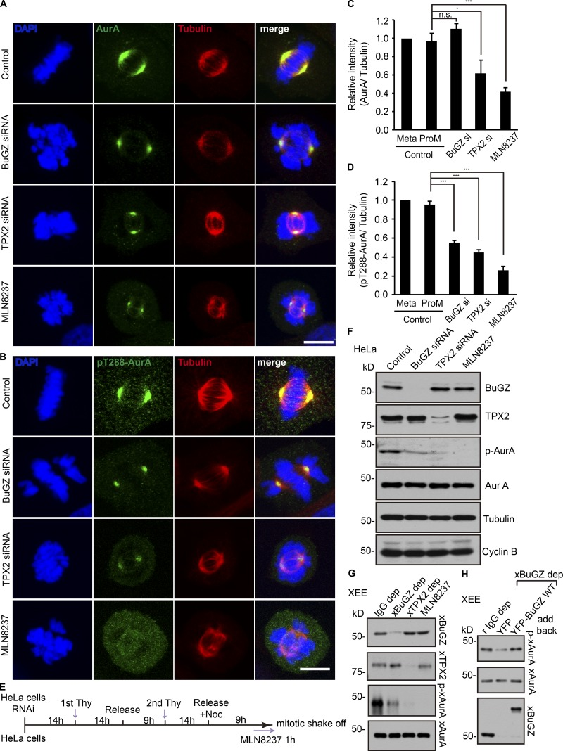 Effects of BuGZ on AurA kinase activity in mitosis. (A–D) Cells were transfected with control, BuGZ, or TPX2 siRNA (si) or were treated with AurA inhibitor MLN8237 (100 nM) followed by staining with antibodies to total AurA (A) or p-AurA (B). Bars, 10 µm. The immunostaining intensity of total AurA (C) and p-AurA (D) in control siRNA–treated cells in metaphase or prometaphase (ProM, containing misaligned chromosomes or thick chromosome bars) and cells in the experimental groups containing misaligned chromosomes were quantified. 75–152 total cells from three independent experiments in each experiment were measured and quantified. Error bars indicate SEM. One-way ANOVA: *, P