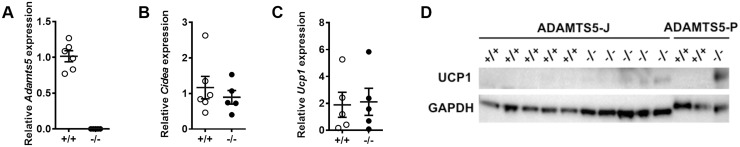 Effect of ADAMTS5 deficiency on diet-induced obesity. (A-C) Expression of Adamts5 (A disintegrin and metalloproteinase with thrombospondin type 1 motifs member 5), Ucp-1 (Uncoupling protein-1) and Cidea in subcutaneous (s) white adipose tissue (WAT) of ADAMTS5-J mice (n = 5–6). Data are corrected for the housekeeping gene β-actin and normalized to wild-type (WT) mice (+/+). Data are means ± SEM of n determinations. (D) Western blot analysis of UCP-1 protein levels in sWAT of Adamts5 +/+ -P (n = 2), Adamts5 -/- -P (-/-; n = 1), Adamts5 +/+ -J (n = 5) and Adamts5 -/- -J (-/-; n = 5) mice. The expression of the housekeeping gene glyceraldehyde 3-phosphate dehydrogenase (GAPDH) was used as a loading control.