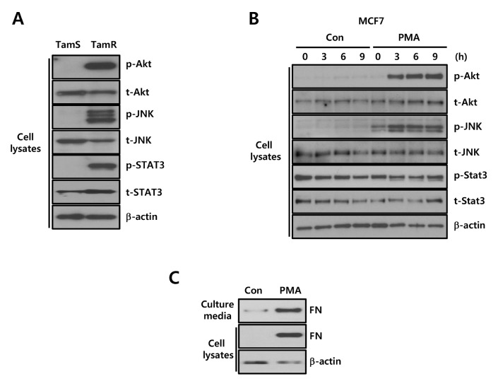 Akt activity is increased in tamoxifen-resistant breast cancer cells. (A) The levels of p- and t-Akt, JNK, and STAT3 were analyzed by Western blotting. (B, C) After serum starvation, MCF7 cells were treated with 10 nM PMA for the indicated times. (C) FN and β-actin expression in cell culture media and whole cell lysates were analyzed via Western blotting. Results are representative of three independent experiments. Con, Control.