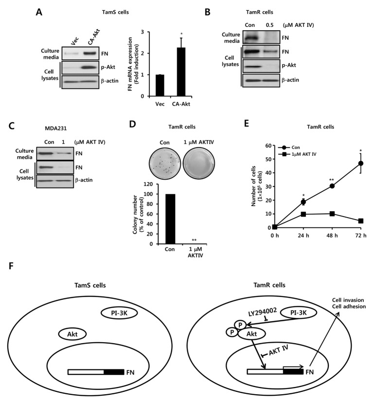 Akt activity plays an important role in FN expression and TamR cell growth. (A) TamS cells were transfected with adenoviral vectors and CA-Akt for 24 h and then further incubated in serum-free medium for 24 h. (B) TamR cells were treated with 0.5 μM AKT IV for 24 h. (C) After serum starvation for 24 h, MDA-MB231 cells were treated with or without 1 μM AKT IV for 24 h under serum-free conditions. The protein levels of FN, p-Akt, and β-actin were analyzed by Western blotting. (D) TamR cells were seeded on 6-well soft agar plates with or without 1 μM AKT IV and incubated for 2 weeks. After 2 weeks, viable colonies were stained with 0.01% crystal violet. (E) TamR cells were treated with or without 1 μM AKT IV for the indicated time periods, after which cells were counted using a Countess TM Automated Cell Counter. (F) Schematic model of this study. Results are representative of three independent experiments. Data are presented as means ± SEMs. *P