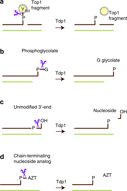 Tdp1 is a DNA 3′-end processing enzyme. Schematic representation of Tdp1 activity (represented by scissors) on biologically and medically relevant substrates. All Tdp1 reactions result in DNA with a 3′-phosphorylated end. a Hydrolysis of the phosphotyrosyl linkage between a proteolytic topoisomerase 1 fragment and the 3′-end of the DNA at a nick. b Removal of glycolate from 3′ overhangs with a phosphoglycolate (PG) adduct. c Tdp1 nucleosidase activity on unmodified DNA with a 3′-hydroxyl end. d Removal of chain-terminating nucleoside analogues (CTNAs), such as AZT (zidovudine) from a recessed 3′ end