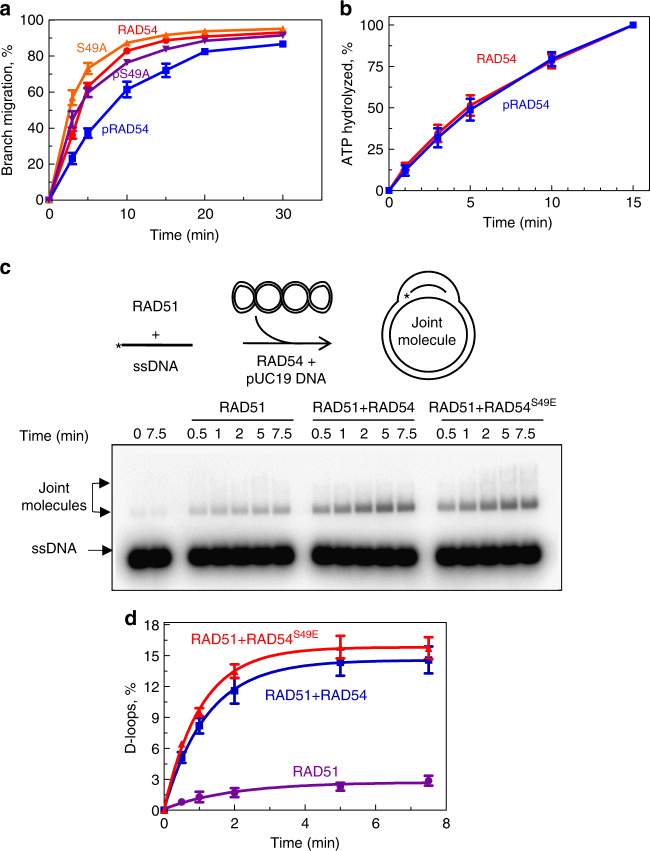 Effect of CDK2 phosphorylation on the RAD54 activities. a The kinetics of BM of PX junction (no. 71/169/170/171; 10 nM) promoted by RAD54 (60 nM), phosphorylated RAD54 (60 nM), RAD54 S49A (60 nM), or phosphorylated RAD54 S49A (60 nM). b The effect of RAD54 phosphorylation (60 nM) on its ATPase activity was tested using supercoiled pUC19 (2 µM, nt) as DNA substrate. c The experimental scheme of the D-loop reaction. The nucleoprotein filaments were formed between RAD51 and ssDNA for 30 min at 37 °C. The reactions were then moved to 30 °C. Then RAD54 was added followed by addition of pUC19 dsDNA substrate to initiate the reaction. The effect of RAD54 (50 nM) or phosphomimetic RAD54 S49E (50 nM) on D-loop formation by RAD51 (1.25 µM) between 32 P-labeled ssDNA (no. 90; 2.4 µM nts) and pUC19 (50 µM, nts). The D-loops were analyzed by electrophoresis in 1% agarose gel. d Data from c are plotted as a graph. Each experiment was repeated three times. Error bars represent the s.e.m.
