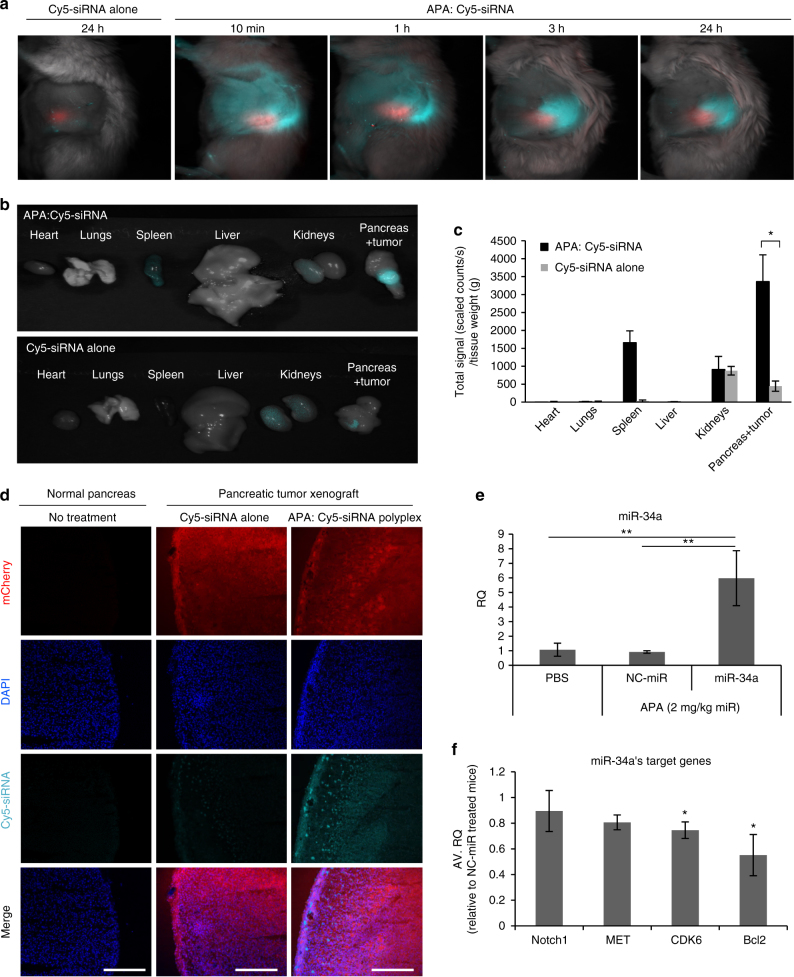 Biodistribution and accumulation of APA-miRNA–siRNA polyplexes in orthotopic pancreatic tumor-bearing mice. a APA:Cy5-labeled siRNA polyplexes or Cy5-labeled siRNA alone (0.5 mg kg −1 siRNA dose) were injected i.v. to mCherry-labeled tumor-bearing (~1000 scaled counts per second) mice. At 10 min, 1, 3, and 24 h mice were imaged by non-invasive intravital fluorescent microscopy for mCherry (red) and Cy5 (light blue) fluorescent signals. Representative images of the mice are shown ( n = 3). b , c Twenty-four hours following intravenous injection of the same treatments as in a , tumor and healthy organs were resected, imaged b and quantified for their Cy5 fluorescent signal intensity c ( n = 3). d Resected tumors were embedded within OCT, cut to 10 µm sections, stained with DAPI and subjected to confocal microscopy. Normal pancreas was used as control. Scale bar, 250 µm. e Relative miR-34a levels in PDAC tumors following intravenous injections (3 consecutive, once a day) of APA-miR-34a or APA-NC-miR (2 mg kg −1 miR dose) or PBS, quantified by qRT-PCR ( n = 4). f miR-34a target genes level following injection of the same treatments as in e , quantified by qRT-PCR ( n = 4). Data represent mean ± SEM in c and mean ± SD in e and f . (Student's t -test, * P