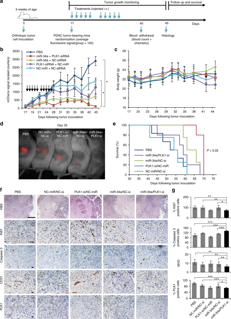 In vivo antitumor effect of miRNA–siRNA combination. a Trial design for testing miRNA–siRNA combination efficacy in the orthotopic PDAC model. b Tumor growth curves from biweekly fluorescent measurements of tumor-bearing mice treated with APA complexed with miR-34a/PLK1-siRNA, miR-34a/NC-siRNA, PLK1-siRNA/NC-miR, NC-miR/NC-siRNA or PBS (treatments are marked with arrows). ( n = 6, 7). Data represent mean ± SEM. One way ANOVA. c In vivo toxicity via mouse body weight evaluation. Data represent mean ± SEM. d An image of a representative mouse from each treatment group 33 days post tumor inoculation showing the difference in tumor fluorescent signal. e Kaplan–Meier survival graph. Log-Rank test, P
