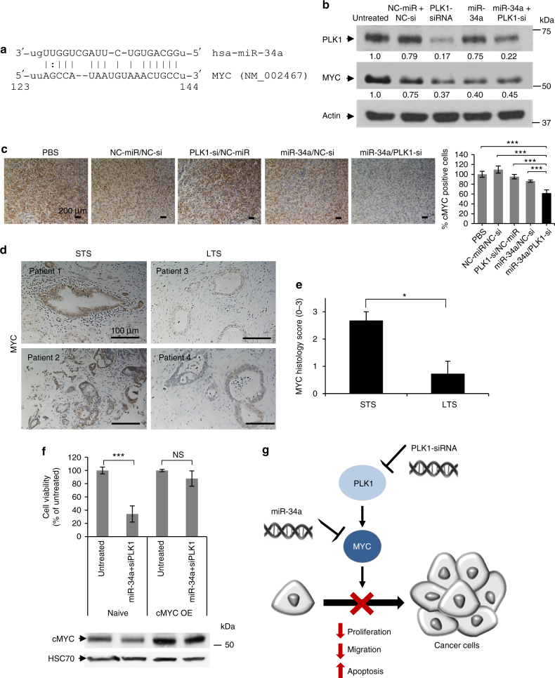 Synergistic anticancer effect by the combination of the restoration of miR-34a and silencing of PLK1 is via myc. a miR-34a binding site within MYC 3′-UTR. b PLK1 and MYC protein levels in MiaPaCa2 cells transfected with miRNA and siRNA monotherapies and their combination. (Representative blot out of 3 biological repeats is shown). c MYC immunostaining of tumors from the different treatments of the in vivo experiment shown in Fig. 8. d MYC immunostaining of short-term and long-term PDAC FFPE specimens. Representative images are shown. e Quantification of MYC immunostaining based on histology scores (0–3: 0- none, 1- weak, 2- moderate, 3- high). f Cell viability of cMYC overexpressed-MiaPaCa2 cells (transiently transfected with MYC ORF-containing plasmid 24 h prior to treatments) and naive cells following treatment with the combination for 48 h. Immunoblotting of MYC is depicted beneath the graph ( n = 3 biological repeats). g Proposed model of synergism via MYC as a common target for miR-34a and PLK1. STS; short-term survivors, LTS; long-term survivors. cMYC OE; cMYC overexpression. Data represent mean ± SD. (Student's t -test, NS; not significant for P > 0.05, * P