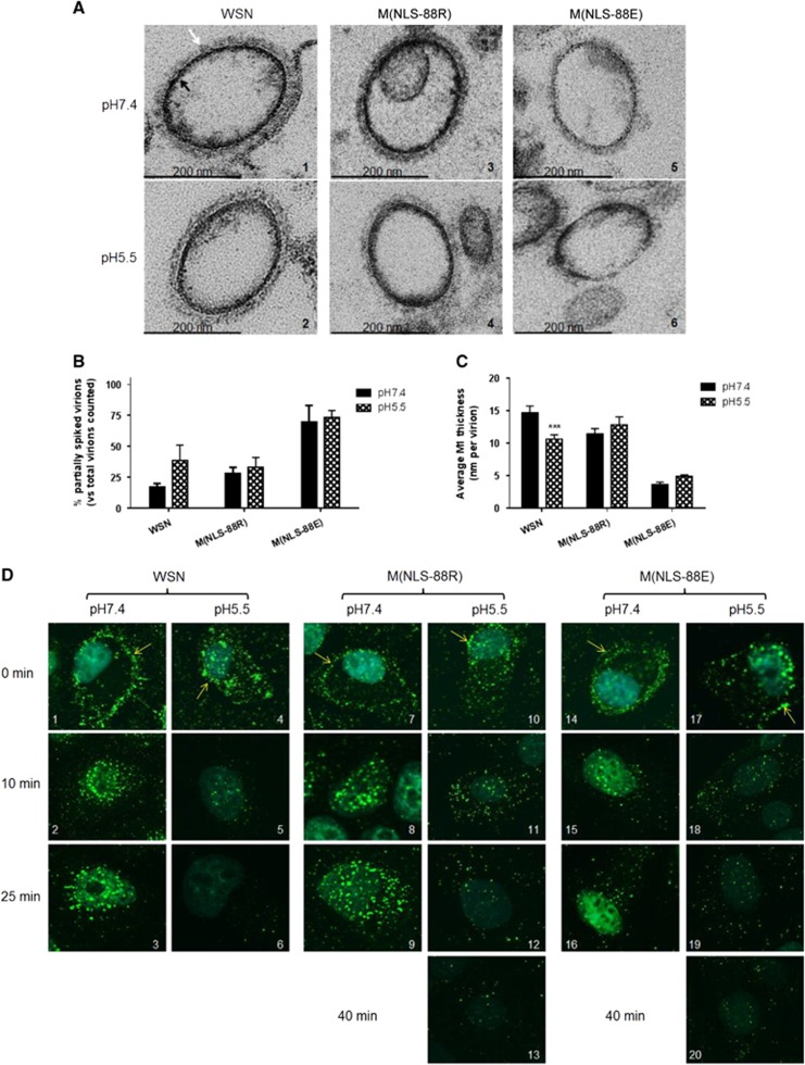 Virion morphology changes and matrix protein 1 (M1) cytoplasmic disintegration under different pH treatments. ( A ) Representative transmission electron microscopy <t>(TEM)</t> images of purified wild-type A/WSN/33 (WSN), M(NLS-88R) or M(NLS-88E) pretreated with the indicated pH buffers. Images were acquired under a Zeiss <t>EM</t> 912 transmission electron microscope equipped with a Keenview digital camera. Black and tan arrows indicate M1 layer and spikes, respectively. ( B ) The percentages of partially spiked virions per ∼100 viral particles blindly counted by two individuals. The data are expressed as the average±SEM. ( C ) The average M1 thickness in different pH pretreated virions under TEM ( n =10 virions). *** P