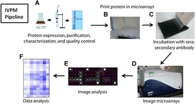 Influenza virus protein microarray pipeline. Recombinant HA is expressed in a baculovirus expression system, purified, characterized and undergoes quality control ( A ). HAs are arrayed onto an epoxysilane-coated glass slide (Schott) using a Versa 110 spotter (Aurora Biomed) ( B ). The HAs are covalently bound to the slide and blocked; the arrays are incubated with sera, followed by fluorescently labeled secondary antibodies in a 96-well microarray gasket (Arrayit) ( C ). The arrays are then imaged ( D ), spots are automatically detected and their fluorescence is measured ( E ). Data from microarray imaging are analyzed in GraphPad Prism 7.0 ( F ). HA, hemagglutinin.