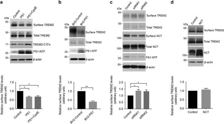 Upregulation of presenilin 1 (PS1) reduces steady-state levels of TREM2 at the cell surface. ( a ) Following PS1 overexpression, HEK293-TREM2 cells were treated with or without the γ-secretase inhibitor Compound E (CpdE) and subjected to cell surface biotinylation assay. Precipitates from streptavidin-agarose beads were immunoblotted for biotinylated TREM2 and total TREM2 levels (levels of TREM2 in 2% total cell lysates). * P