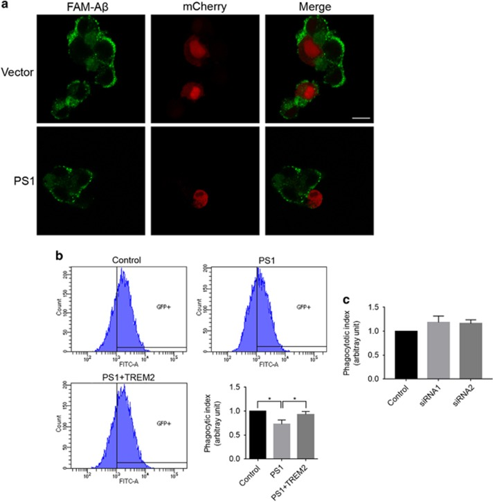 Overexpression of presenilin 1 (PS1) impairs TREM2-mediated phagocytosis in microglial cells. ( a ) PS1 and mCherry were co-transfected into BV2 microglial cells. The cells were then incubated with 6-carboxyfluorescein (FAM)-labeled Aβ42 for 2 h. FAM-Aβ42 uptake was analyzed by fluorescence microscopy. Scale bars, 10 μm. ( b ) Phagocytosis of FAM-Aβ42 in BV2 cells stably expressing PS1 as determined by flow cytometry. * P