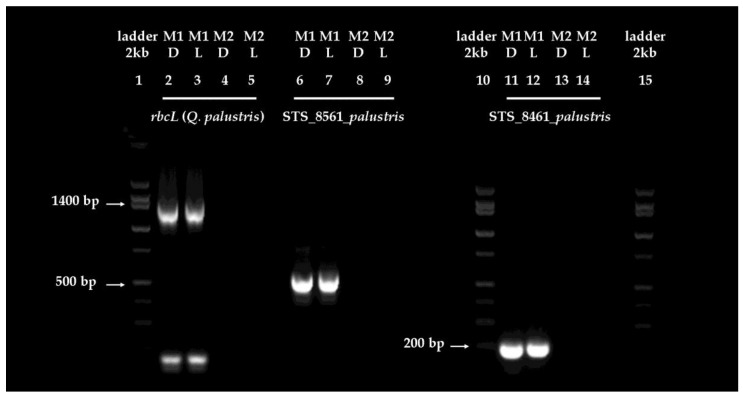 Amplification of selected target gene fragments from DNA extracted from in situ dark- or light-adapted mature pin oak ( Q. palustris ) leaves. The figure shows a representative example of PCR amplification of the 1300 bp rbcL , 500 bp STS_8561_ palustris and 209 bp STS_8461_ palustris sequence tagged site segments from dark- (D) and light-adapted (L) leaves, using extraction method M1 and M2, on a 2% agarose gel containing 0.5 µg/mL <t>ethidium</t> bromide. The low molecular weight bands (at about 175 bp) in the lane showing the amplified rbcL segment (M1D and M1L) are non-specific amplification products. A 2 kb DNA ladder was used for fragment sizing. Arrows indicate the position of the 1400, 500 and 200 bp bands in the marker line. To establish whether there is a quantitative difference between the efficiency of the amplification of fragments, apparent bands were excised from the gel and the DNA purified and quantified from the excised fragments. Yields of the 1300 bp rbcL amplicon fragments were of 325 and 227.6 ng, 500 bp STS_8561_ palustris of 375 and 388 ng and 209 bp STS_8461_ palustris of 420 and 426 ng, for dark- and light-adapted samples, respectively. No bands were observed for any of the samples using as template the DNA isolated by method M2, suggesting no amplification of the target gene fragments. Abbreviations stand for: D = dark-adapted; L = light-adapted; M1 = method 1; M2 = method 2.