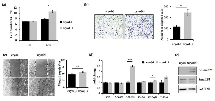 Cryotherapy increases the migration and proliferative activity of keloid dermal fibroblasts. ( a ) The comparison of the proliferative activity of the dermal fibroblasts from keloids before and after cryotherapy. Cell proliferation was promoted in the fibroblast treated with cryotherapy. The cell number was estimated at 48 h after cell seeding; ( b , c ) The migration activity of dermal fibroblasts was increased following cryotherapy. The migration of the cells was analysed by the transwell assay ( b ) and wound-healing assay ( c ); ( d ) qRT-PCR experiments were performed to evaluate the mRNA levels of fibronectin, MMP2 (Matrix metalloproteinase 2), MMP9, PAI-1 (Plasminogen activator inhibitor-1), TGF-β1, and Col2a1 (Collagen Type II Alpha 1) in fibroblasts derived from the dermis under the cryotherapy-treated (+) or untreated (−) keloids. MMP9 and TGF-β1 were significantly increased in the fibroblast treated with cryotherapy as compared with controls; ( e ) Immunoblot analysis of phosphorylated Smad2/3. Total Smad2/3 and GAPDH were used as the loading controls. Error bars represent the standard error from three repeated experiments. * p