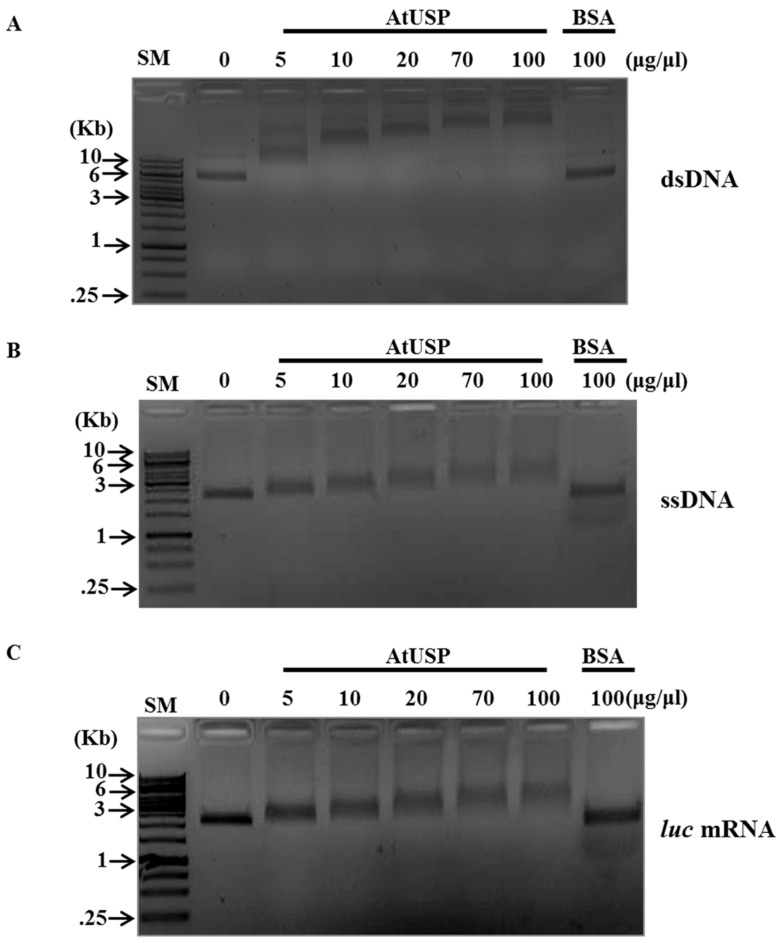 Nucleic acid-binding activity of AtUSP in vitro. Indicated amounts of purified recombinant AtUSP protein were incubated with either ( A ) M13mp8 ssDNA, ( B ) M13mp8 dsDNA, or ( C ) in vitro transcribed luciferase ( luc ) mRNA. To analyze the effect of AtUSP in RNA mobility and the AtUSP-RNA complexes, 0.8% agarose gels were used for gel-shift assays. Bovine serum albumin (BSA) protein (100 μg/μL) was used as a negative control. SM presents size marker from Thermo Scientific Company.