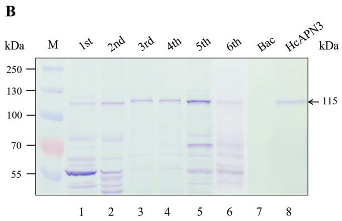 Detection and characterization of HcAPN3 expressed in H. cunea BBMV from different development larval stages and infected Sf9 cells. Protein from BBMV prepared from different developmental instars (lane 1–5), Sf9 cells containing control baculovirus alone (lane 6) and Sf9 cells infected with recombinant baculoviruse (lane 7) were separated by 10% <t>SDS-PAGE</t> and electrotransferred to <t>PVDF</t> membrane. ( A ) Western blot analysis of the expression of HcAPN3 with anti-HcAPN3 antibodies; ( B ) Binding detection of Cry1Ab35 toxin to HcAPN3 by ligand blot assay with anti-Cry1Ab35 antibodies. Lane M shows molecular weight markers and arrows indicate the position of the HcAPN3 protein in H. cunea BBMV.