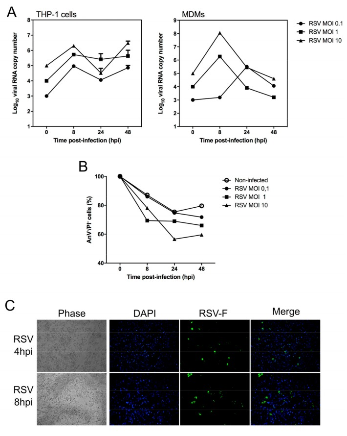 Characterization of <t>RSV</t> infection in human monocyte-derived macrophages <t>(MDMs).</t> Monocytes were isolated from human peripheral blood mononuclear cells (PBMCs) and differentiated into macrophages as previously described (1). RSV (Lon strain, ATCC VR-26) was propagated in HEp2 cells and isolated as described previously [ 40 ]. ( A ) THP-1 or MDMs cells were exposed to RSV Long at different multiplicity of infection (MOI, 0.1, 1 and 10) to investigate the kinetics of infection over time. Uninfected control replicates were exposed to cell culture medium. At different time points, total cell extracts were harvested and analyzed by multiplex real-time RT-qPCR to quantify RSV (F fusion gene). The RT-PCR reaction was performed using the AgPath-ID™ One-Step RT-PCR kit (Life Technologies; Carlsbad, CA, USA) according to the manufacturer's instructions. Samples with a cycle threshold (C t ) value of ≥40 were recorded as negative. A standard curve was prepared using serially diluted RNA extracts from a known quantity and used to calculate genomic copies/mL; ( B ) In the same experimental condition, cell survival in infected MDMs was monitored using flow cytometry, using the FITC/Annexin V apoptosis detection kit (BD Biosciences), according to the manufacturer's instructions. Percent survival is expressed compared to viable cells measured at T = 0 hpi; ( C ) Immunofluorescence microscopy of MDMs infected by RSV (MOI of 1) at 8 hpi. Magnification ×20. Immunofluorescence protocol was performed as previously published [ 41 ]. RSV F antigen (Green), Nuclei stained by DAPI (Blue). Each experiment was performed in duplicate, from two separate experiments.