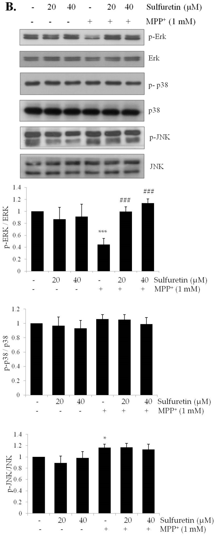 MPP + decreases Akt/GSK3β and ERK phosphorylation and increases p53 expression, whereas sulfuretin reverses its effect. SH-SY5Y cells were pretreated with sulfuretin for 2 h and then treated with MPP + for 24 h. After cell lysis, the extracted proteins were subjected to Western blot analysis using specific antibodies. Protein levels of ( A ) p-Akt, Akt, p-GSK3β, GSK3β, p-CREB, and GAPDH; ( B ) p-ERK, ERK, p-p38, p38, p-JNK, and JNK were determined. Representative blots and their densitometric quantification are shown. Values are presented relative to control as mean fold change ± S.D. ( n = 3). Differences are statistically significant at * p