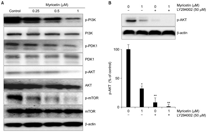 Effects of myricetin on the PI3K/Akt/mTOR signaling pathway in human umbilical vascular endothelial cells (HUVECs). (A) HUVECs were treated with myricetin (0.25, 0.5, and 1 μM) for 24 hours. Protein samples (40 μg) were subjected to 6% to 15% SDS-PAGE and the levels of PI3K, PDK1, Akt, mTOR, and their phosphorylated forms were detected by Western blotting. (B) The cells were treated with myricetin in combination with an Akt inhibitor, LY294002, and the level of p-Akt was detected by Western blotting; β-actin was used as the internal control. Values represent the mean ± SD of three separate experiments. * P
