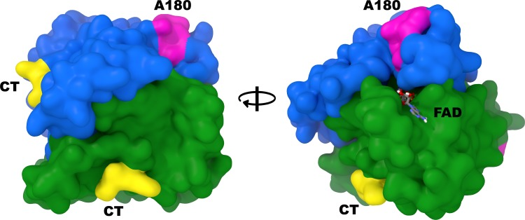 Relative positioning of the C-term and A180 antibody epitopes on human NQO1. Alternating viewpoints of the human NQO1 homodimer (PDB ID: 1D4A) with each monomer colored separately (blue and green) and the locations of the C-terminal epitopes (CT, yellow) and A180 epitopes (magenta) highlighted.