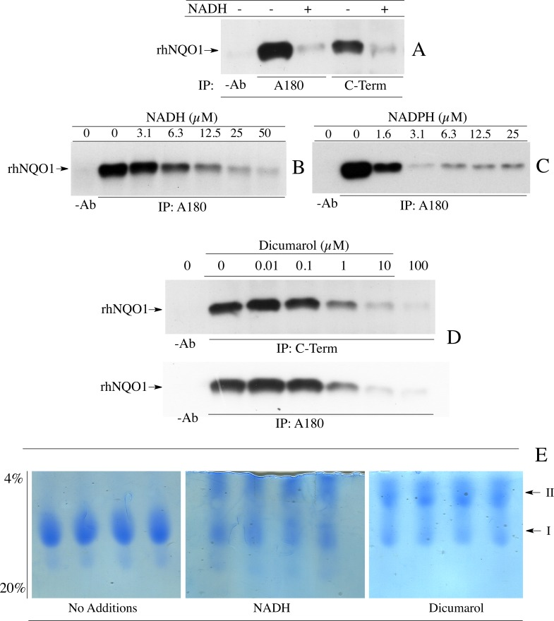Reduced pyridine nucleotides and dicumarol induce a conformational change in <t>NQO1.</t> (A) Comparison of the ability of antibodies which bind to helix 7 <t>(A180)</t> and antibodies which bind to the C-terminal domain (C-Term) to immunoprecipitate rhNQO1 in the absence and presence of NADH. (B, C) Immunoprecipitation of rhNQO1 with the A180 antibody in the absence and presence of NADH or NADPH. (D) Immunoprecipitation of rhNQO1 by C-Term and A180 antibodies in the absence and presence of dicumarol. (E) The effect of NADH and dicumarol on the migration of rhNQO1 in non-denaturing PAGE. Reaction conditions for immunoprecipitation studies and non-denaturing PAGE are described in Materials and methods .