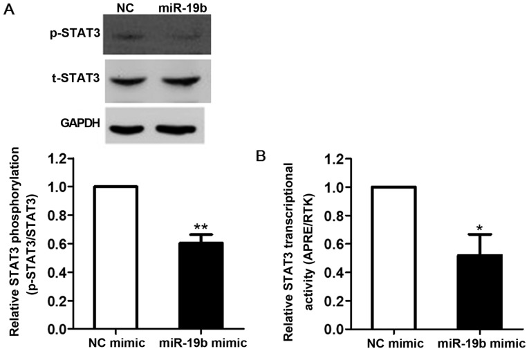 miR-19b inhibits STAT3 transcriptional activity in EA.hy 926 cells. (A) p-STAT3 levels were detected in EA.hy926 cells transfected with miR-19b mimic or NC mimic (final concentration, 30 pmol/ml) for 24 h by western blot analysis. Densitometry was performed and levels were normalized to t-STAT3 expression (n=3). (B) EA.hy926 cells were transfected with STAT3-driven promoter (2×APRE) firefly luciferase reporter plasmid, alongside miR-19b mimic or NC mimic. Luciferase activities were normalized to Renilla activities (n=4). Data are presented as the mean ± standard error of the mean. * P