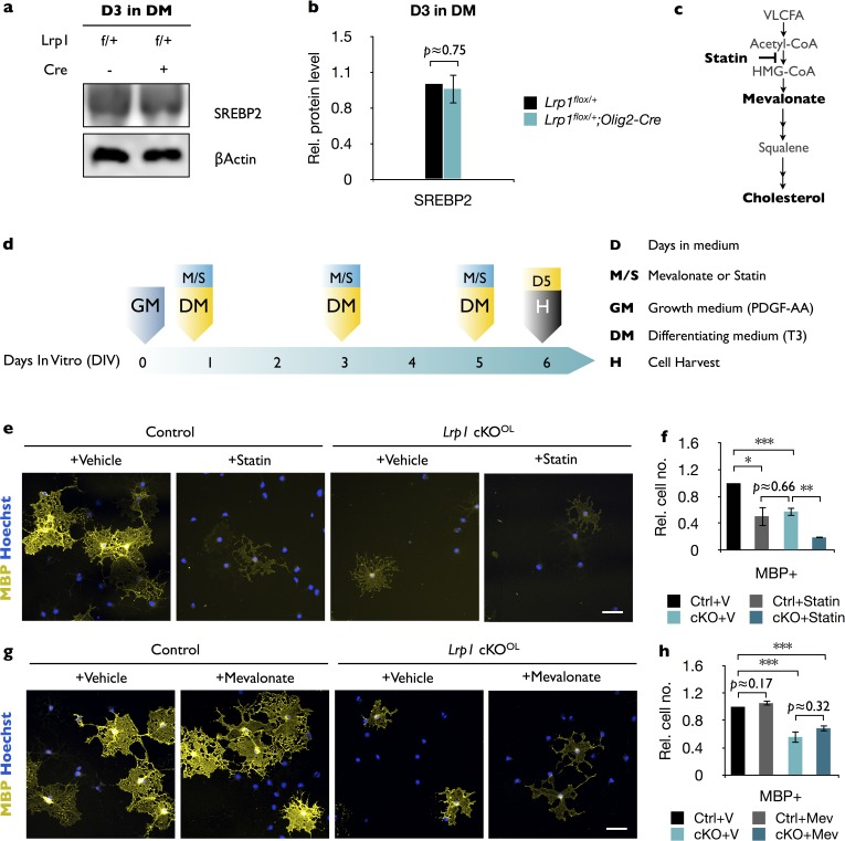 Lrp1- deficient OLs are sensitive to statin treatment but not to bath applied mevalonate. ( a ) Primary OPCs were isolated by anti-PDGFRα immunopanning from Lrp1 flox/+ and Lrp1 flox/+ ;Olig2-Cre pups and cultured for 3 days in differentiation medium (D3 in DM). Cells were lysed and subjected to immunoblotting with anti-SREBP2 and anti-β-actin. ( b ) Quantification of SREBP2 protein levels in cell lysates of Lrp1 flox/+ (n = 4) and Lrp1 flox/+ ;Olig2-Cre (n = 4) cultures revealed comparable levels. This demonstrates that the presence or absence of the Olig2-Cre allele does not affect SREBP2 levels. ( c ) Cholesterol biosynthetic pathway and site of action of statins (simvastatin), which function as inhibitors of 3-hydroxy-3methyl-glutaryl-coenzyme A reductase (HMG-CoA), the rate controlling enzyme of the mevalonate pathway. ( d ) Timeline in days showing when growth medium (GM) and differentiation medium (DM), either containing simvastatin or mevalonate (M/S) were added to cultures and when cells were harvested (H) for immunofluorescence labeling. ( e ) Immunostaining of control and Lrp1- deficient OL cultures after 5 days in DM treated with vehicle or statin. Cell cultures were labeled with anti-MBP and Hoechst dye33342. Scale bar = 50 µm. ( f ) Quantification of MBP + cells in Lrp1 control cultures treated with vehicle (n = 4), Lrp1 control cultures treated with statin (n = 3), Lrp1 cKO OL cultures treated with vehicle (n = 4), and Lrp1 cKO OL cultures treated with statin (n = 3). ( g ) Immunostaining of control and Lrp1 deficient OL cultures after 5 days in DM treated with vehicle or mevalonate. Cell cultures were labeled with anti-MBP and Hoechst dye33342. Scale bar = 50 µm. ( h ) Quantification of MBP + cells in Lrp1 control cultures treated with vehicle (n = 3), Lrp1 control cultures treated with mevalonate (n = 3), Lrp1 cKO OL cultures treated vehicle (n = 3), and Lrp1 cKO OL cultures treated with mevalonate (n = 3). Results are shown as mean values ± SEM, *p