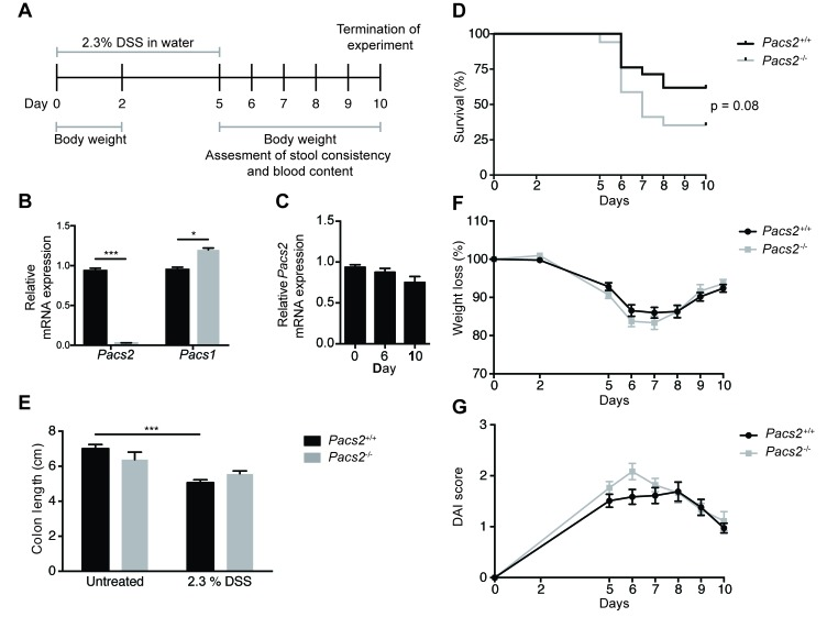Pacs2 -/- mice show no significant changes in susceptibility to DSS-induced colitis A. Schematic of the DSS treatment regimen and data collection. Littermate Pacs2 +/+ (control, n = 21) and Pacs2 -/- ( n = 17) mice received 2.3% DSS in their drinking water for five days, followed by five days on regular water. Mice were weighed on days 0, 2, and 5-10, and stool consistency and blood content additionally monitored from days 5-10. B. Quantitative real-time PCR analysis of Pacs2 and Pacs1 mRNA levels in the colon of control ( n = 5) and Pacs2 -/- mice ( n = 4). Gapdh served as a control for normalization. C. Quantitative real-time PCR analysis of Pacs2 mRNA levels in colonic tissue isolated from Pacs2 +/+ mice at Day 0, 6 and 10 during DSS-induced colitis. D. Kaplan-Meier plot depicting the percentage survival of control (61 %) versus Pacs2 -/- (35 %) mice. Survival was evaluated by log-rank (Mantel-Cox) test (control, n = 21; Pacs2 -/- , n = 17). E. Changes in colon length in control and Pacs2 -/- mice on day 6 of the DSS protocol (control, n = 9; Pacs2 -/- , n = 4). F. Daily changes in body weight during DSS-induced colitis. Changes in body weight percentage were calculated by normalizing body weight at the specific day to the body weight at day 0 (control, n = 21; Pacs2 -/- , n = 17). G. The Disease Activity Index (DAI) was calculated as the average of the weight loss score, stool score, and bleeding scores (control, n = 21; Pacs2 -/- , n = 17). All data were pooled from three independent experiments. Graphs represent the mean ± S.E.M; *** p